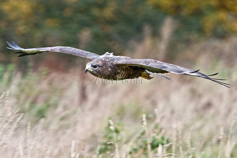 Common Buzzard 2 by Alan Forder
