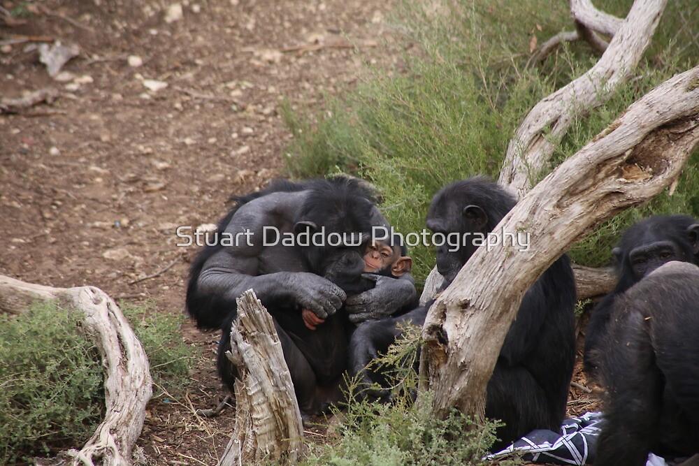 Baby Chimp & Mum by Stuart Daddow Photography