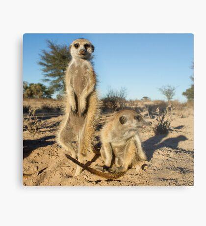 Two meerkats Metal Print