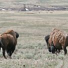 Where Buffalo Roam by AnnDixon