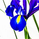 Iris bloom by RichardBlanton