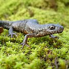 Great Crested Newt  (Triturus cristatus) by Istvan Natart