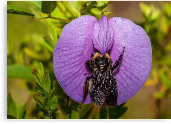 Bumble Bee on Blue Flower by Paul Wolf
