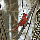 Royal Redbird by Greg Belfrage