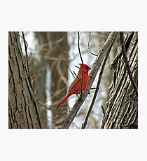 Royal Redbird Photographic Print