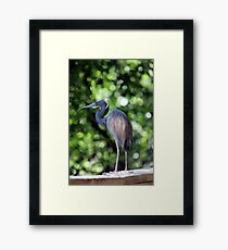 Blue Heron perched Framed Print