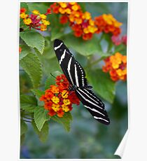 A Zebra Longwing on Lantana  Poster