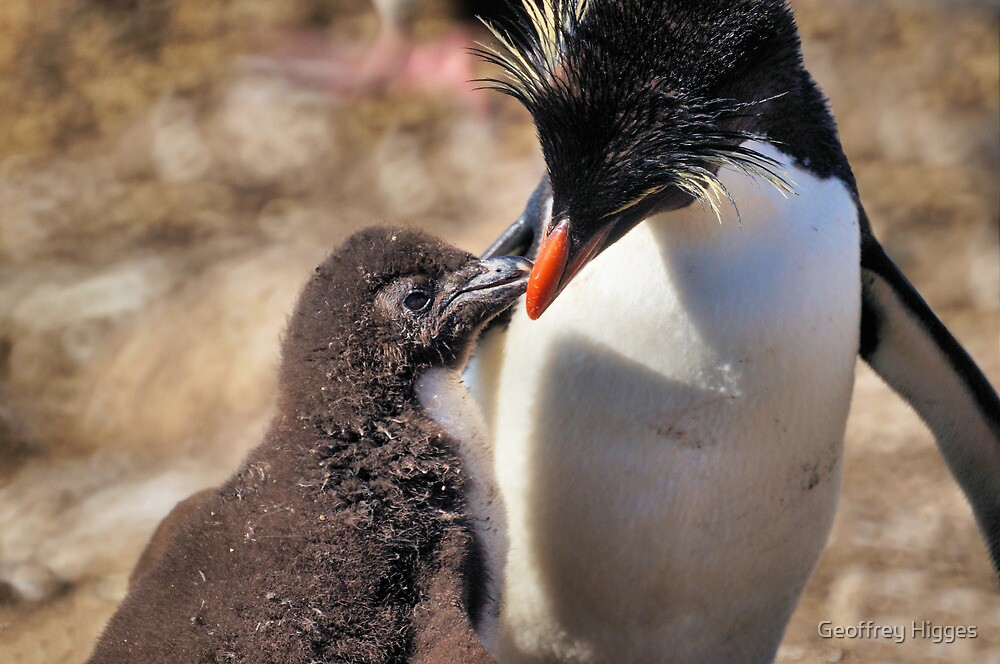 Rockhopper Penguin feeding Chick, Falkland Islands by Geoffrey Higges