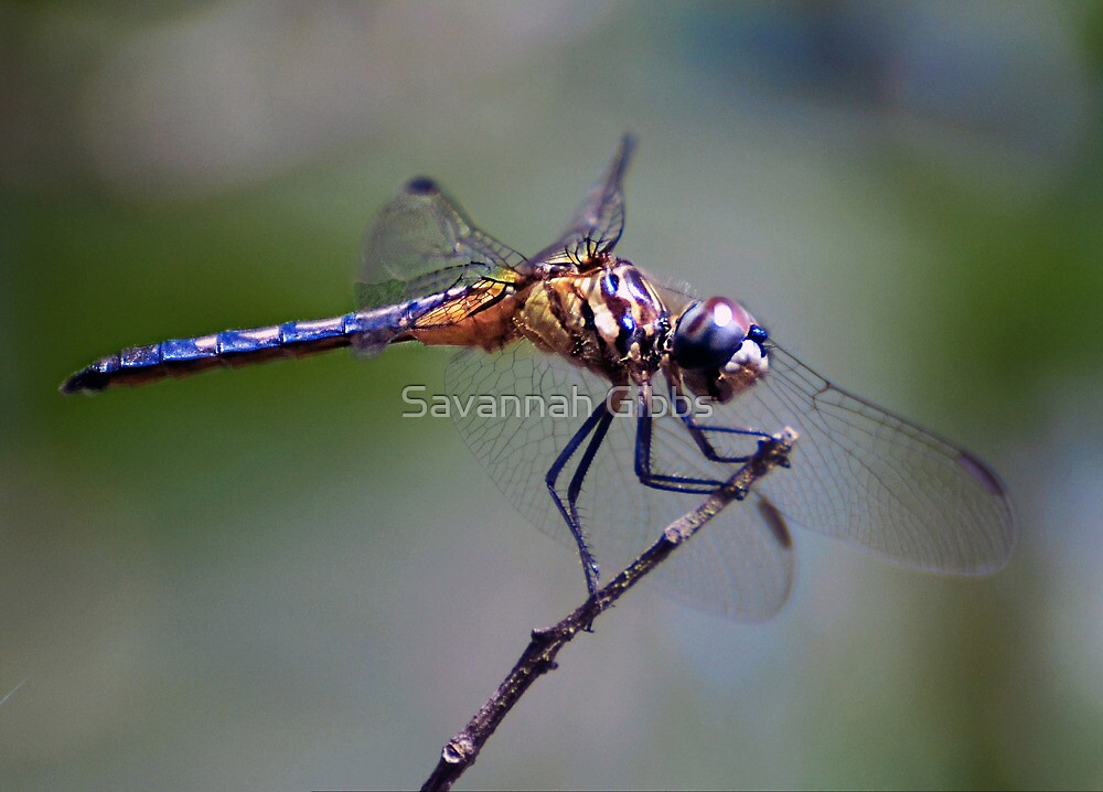 Dragonfly by Savannah Gibbs