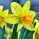 Yellow Jonquil by Sheri Nye