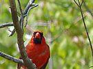 Cardinal by FrankieCat