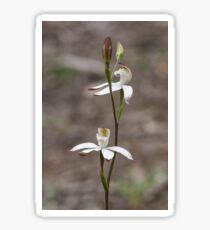 Musky Caladenia - Caladenia moschata Sticker