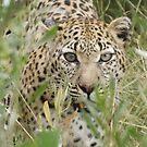 Africa - My Leopards by Pauline Adair