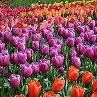 Tulip Fields 1 by Danielle Morin