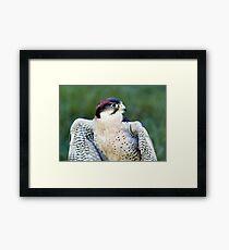 Peregrine Falcon (Falco Peregrinus) Framed Print