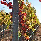 Pinot Noir Grapes at Cuvaison Winery, Napa, CA by Nina Brandin