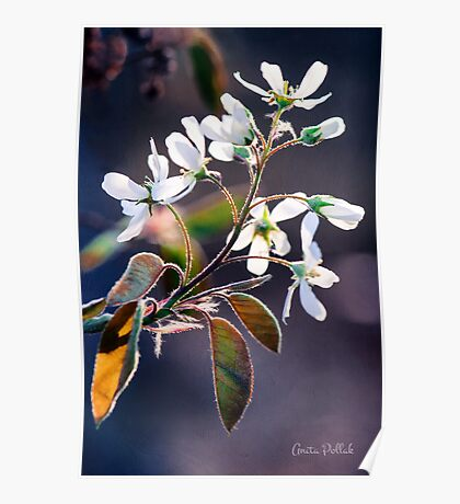 Glorious Shad Blossoms Poster