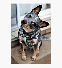 Jax the Cattle Dog Photographic Print