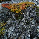 Gnarly Nothofagus Gunnii by Robert Mullner
