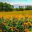 Berkshire Cornfield England by mlphoto