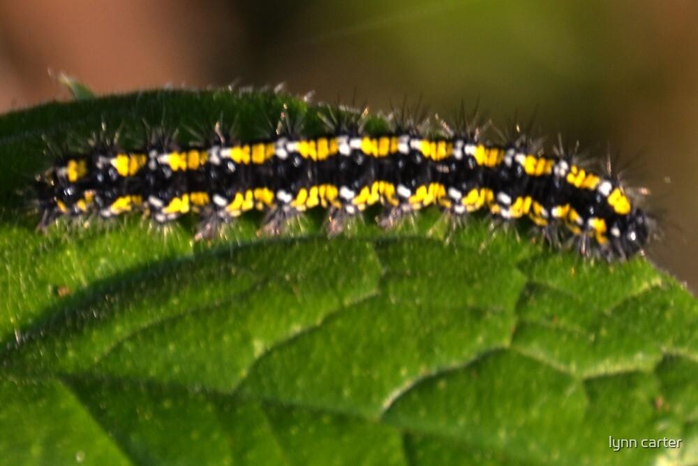 Tiger Moth Caterpillar by lynn carter