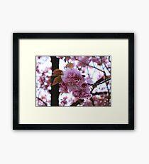 Japanese Flowering Cherry Framed Print