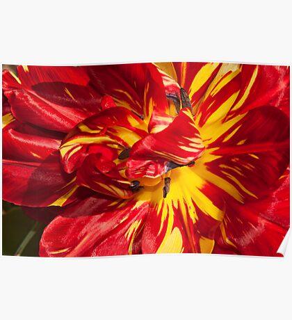 "6"" tall tulip. (Easter egg tulips) Poster"