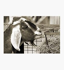 Whats got your Goat? Photographic Print