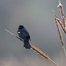 Red-Winged Blackbird in rain by (Tallow) Dave  Van de Laar