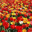 Tulip Heaven. by Lee d'Entremont