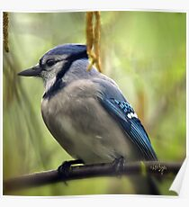 Blue Jay On A Misty Spring Day Square Format Poster