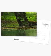 Wood Duck  (Aix sponsa) Postcards