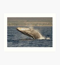Humpback Whales In Hawaii Art Print