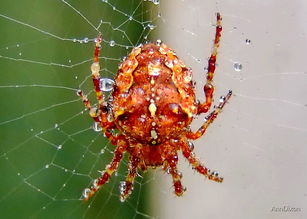 Spider after a Shower by AnnDixon