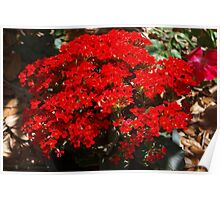 Red kalanchoe Poster