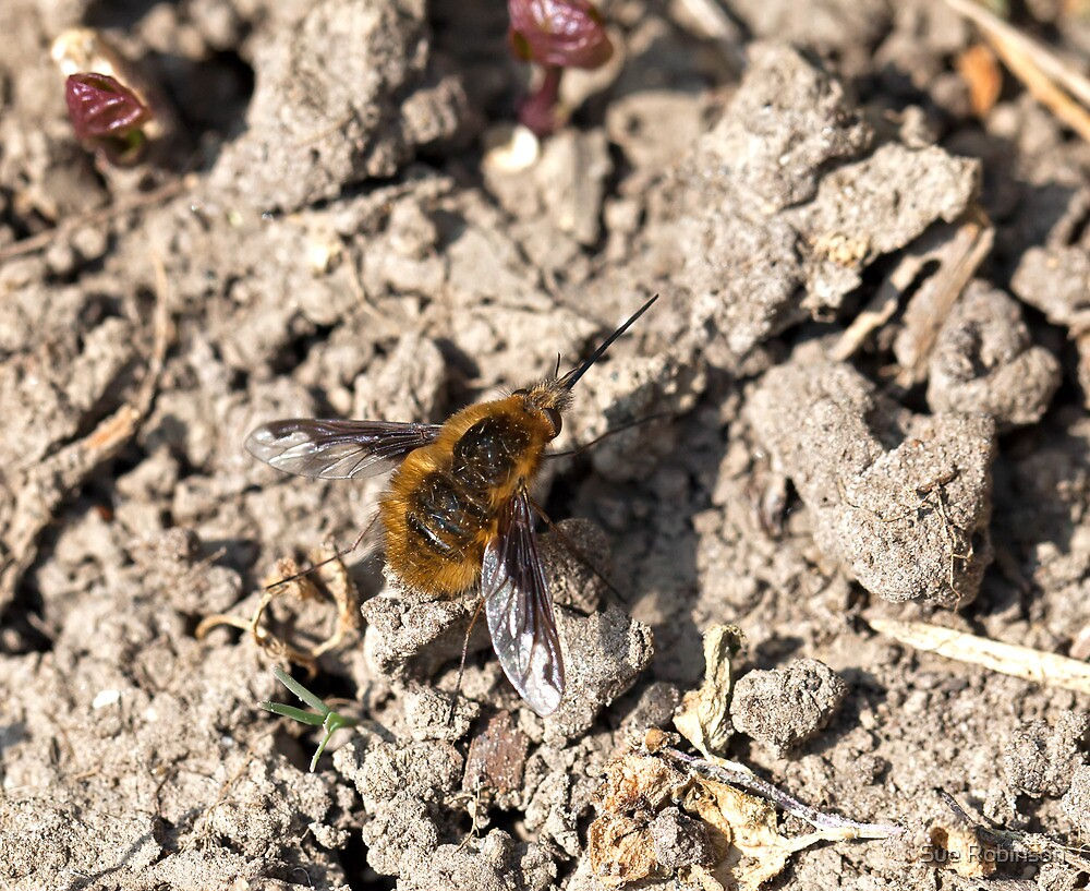 Common Bee-fly by Sue Robinson