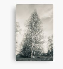 Birch Tree - Lou Campbell State Nature Preserve Canvas Print
