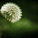 dandelion by passerby2