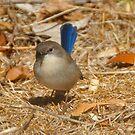 blue wren by Glen Johnson