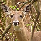 Deer in the Wood by lorilee