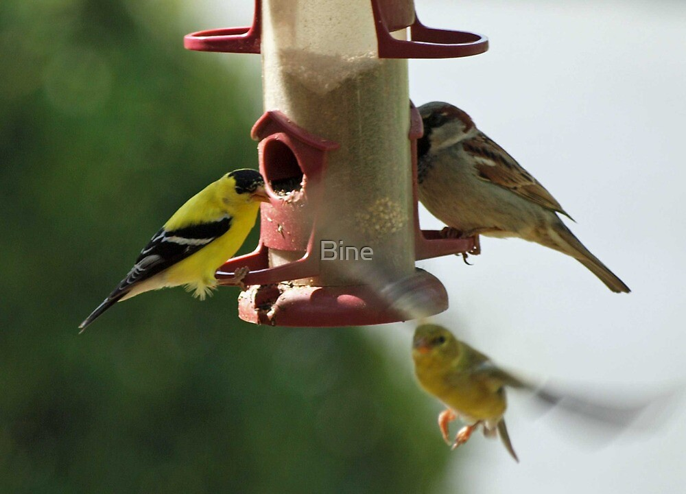 It's a busy time at the thistle seed feeder by Bine