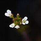 Little White Weed by Zen-Art (Zenith)