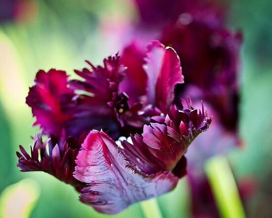 Blown Tulip by ElyseFradkin