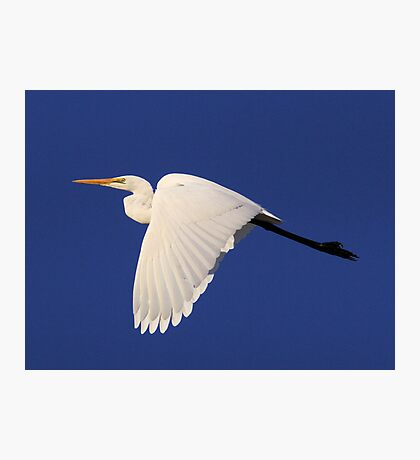 Finished fishing for the day Egret In Flight  Photographic Print