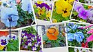 Pansy Collage by FrankieCat
