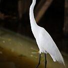 White Egret by Steven Gibson