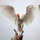 Ibis by Steven Gibson