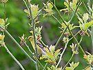 Female Goldfinch in Sassafras Tree by FrankieCat