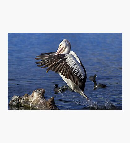 How High ???? Pelican Canberra Australia  Photographic Print