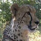 Cheetah in Zambia by Pauline Adair